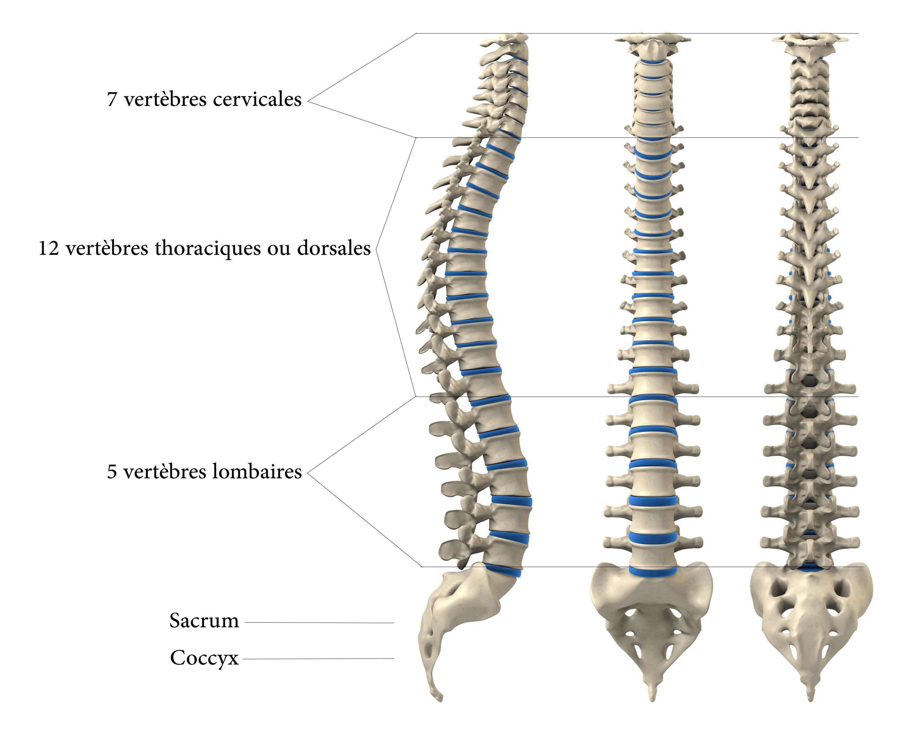 anatomie de la colone vertébrale